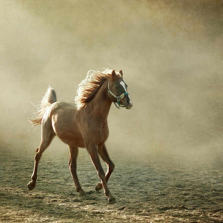 Square Photograph - Chestnut Arabian Horse by Christiana Stawski