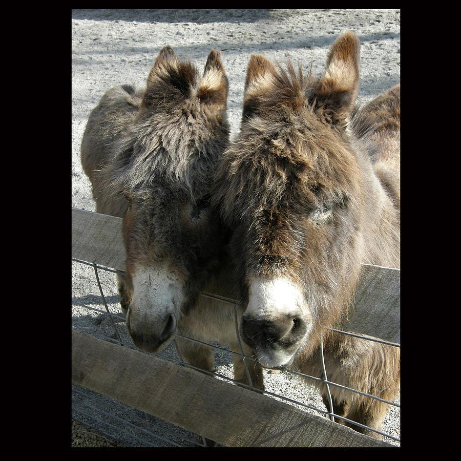 Donkey Photograph - Chillin by John Shook