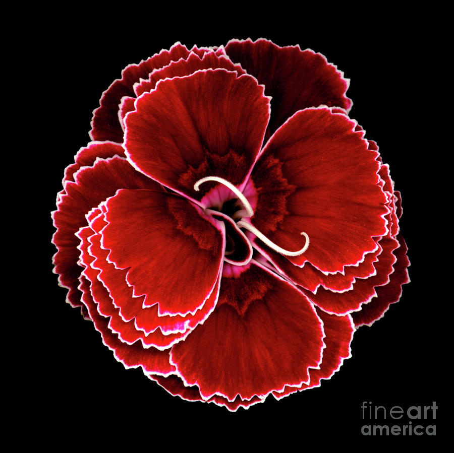 American Photograph - Chinese Carnation by Christopher Gruver