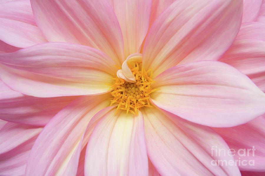 Nature Photograph - Chinese Chrysanthemum Flower by Julia Hiebaum