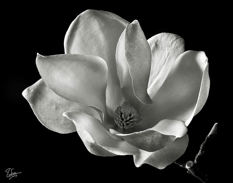 Chinese Magnolia Photograph