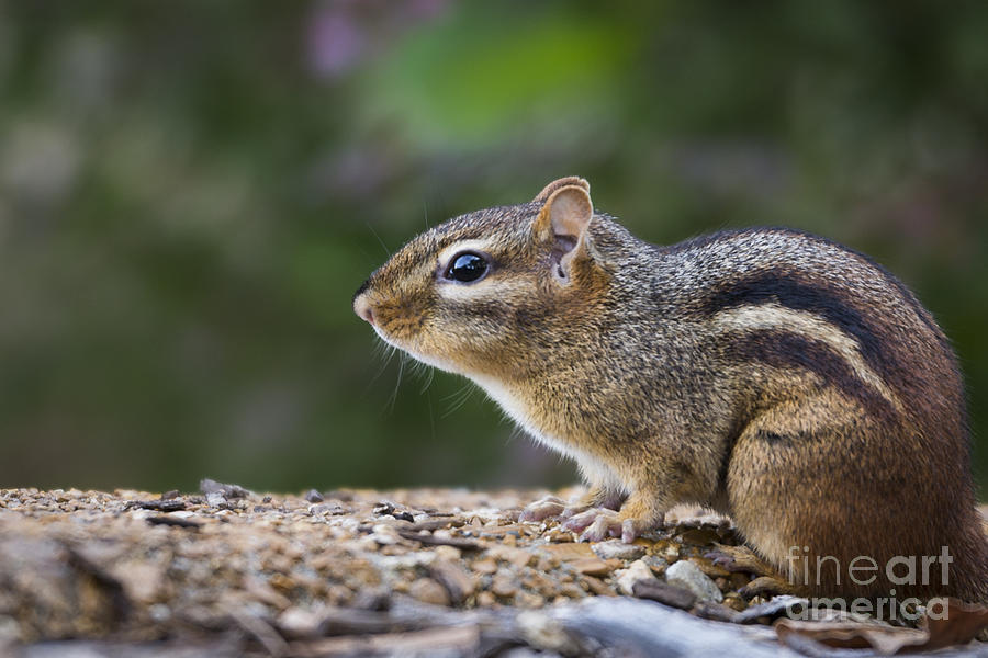 Chipmunk Photograph - Chipmunk   by Andrea Silies