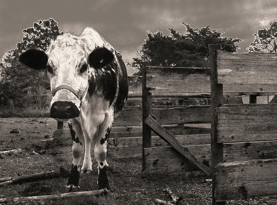 Cow Photograph - Chocolate Chip At The Stables by T Brian Jones