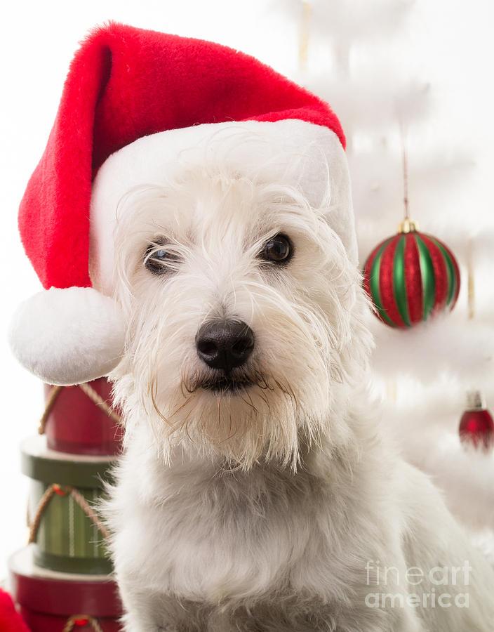 Christmas Elf Dog Photograph