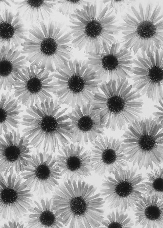 Chrysanthemum Flowers Photograph
