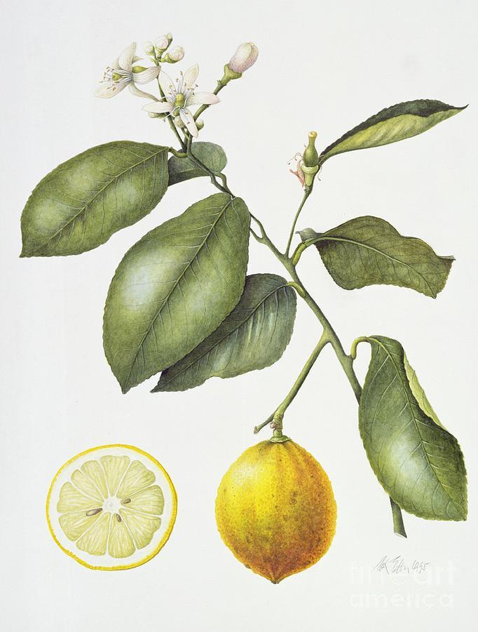 Fruit; Still Life; Branch; Half; Halved; Cross Section; Botanical; Seeds; Study; Flower; Flowering; Citrus; Bergamot; Leaf; Leafs Painting - Citrus Bergamot by Margaret Ann Eden