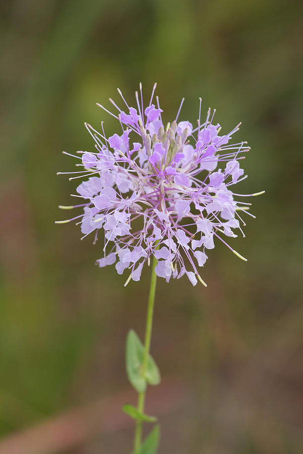 Clasping Warea Flowers Photograph