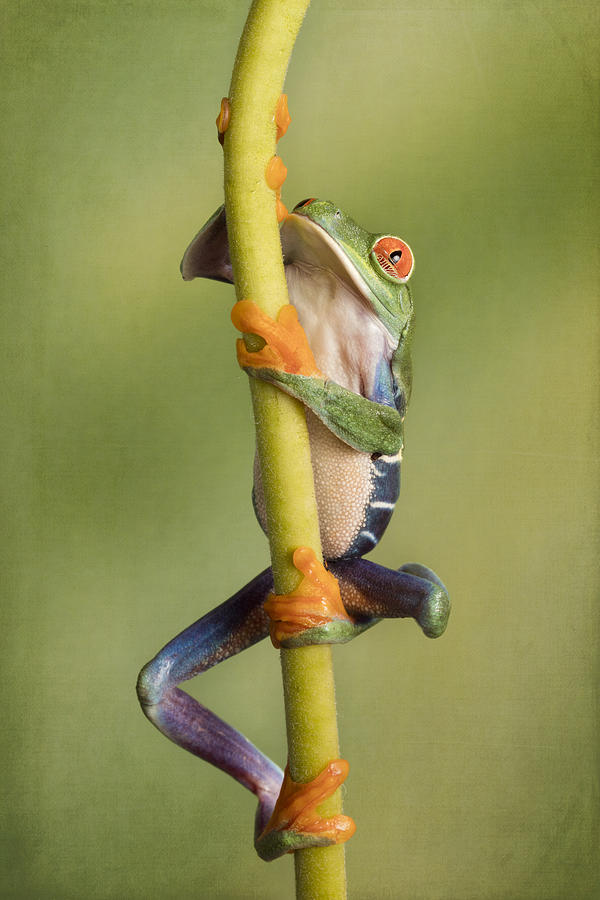 Climbing Red Eyed Tree Frog Photograph by Linda D Lester