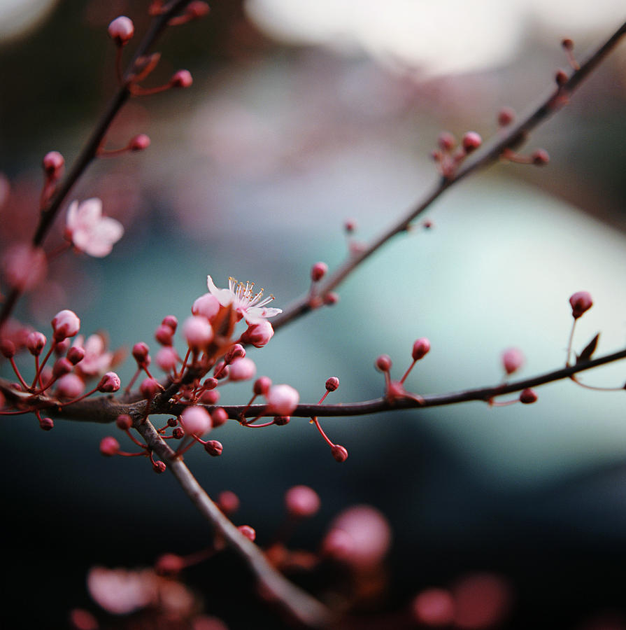 Close-up Of Plum Blossoms Photograph