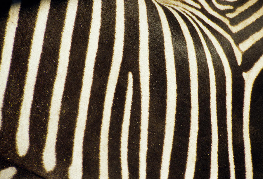 Close View Of A Zebras Stripes Photograph