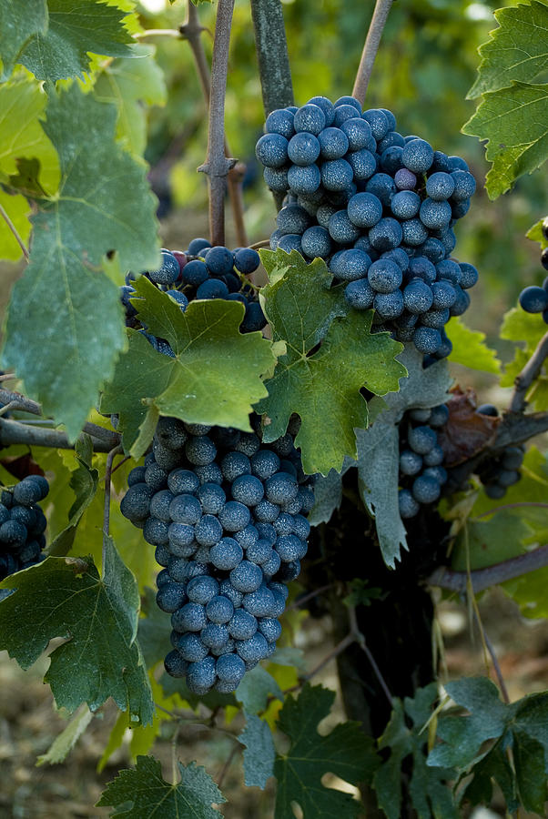 Chianti Photograph - Close View Of Chianti Grapes Growing by Todd Gipstein