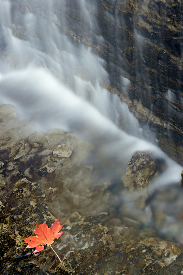 Light Photograph - Closeup Maple Leaf And Decew Falls, St by Darwin Wiggett