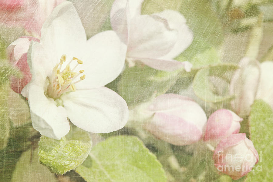 Tree Photograph - Closeup Of Apple Blossoms In Early by Sandra Cunningham