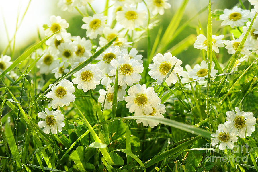 Aroma Photograph - Closeup Of Daisies In Field by Sandra Cunningham