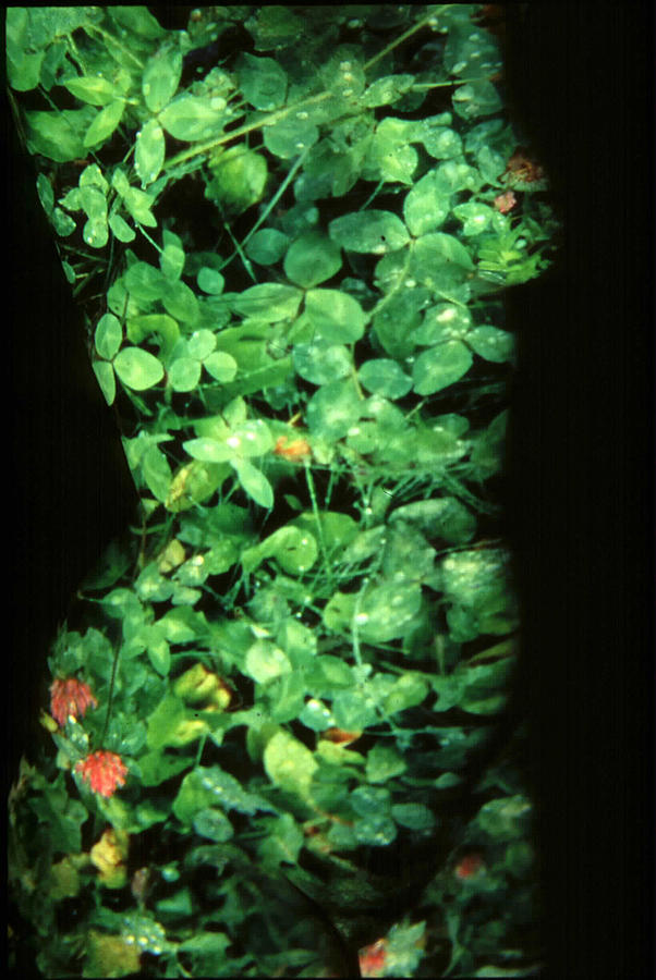 Nature Fusion Photograph - Clover by Arla Patch