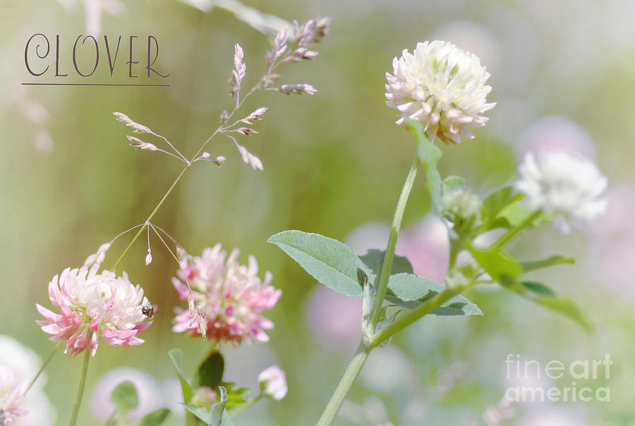 Weed  Photograph - Clover by Elaine Manley