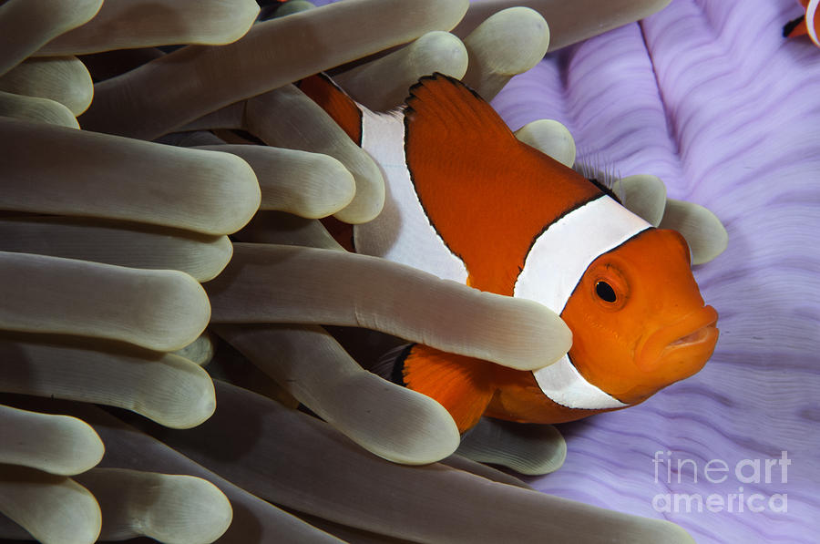 Osteichthyes Photograph - Clown Anemonefish, Indonesia by Todd Winner