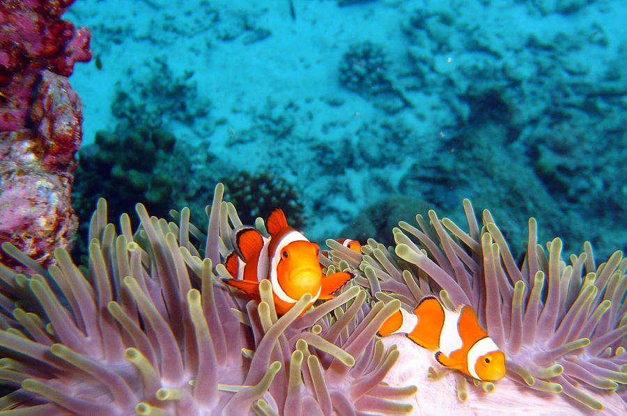 Horizontal Photograph - Clown Fishes by Takau99
