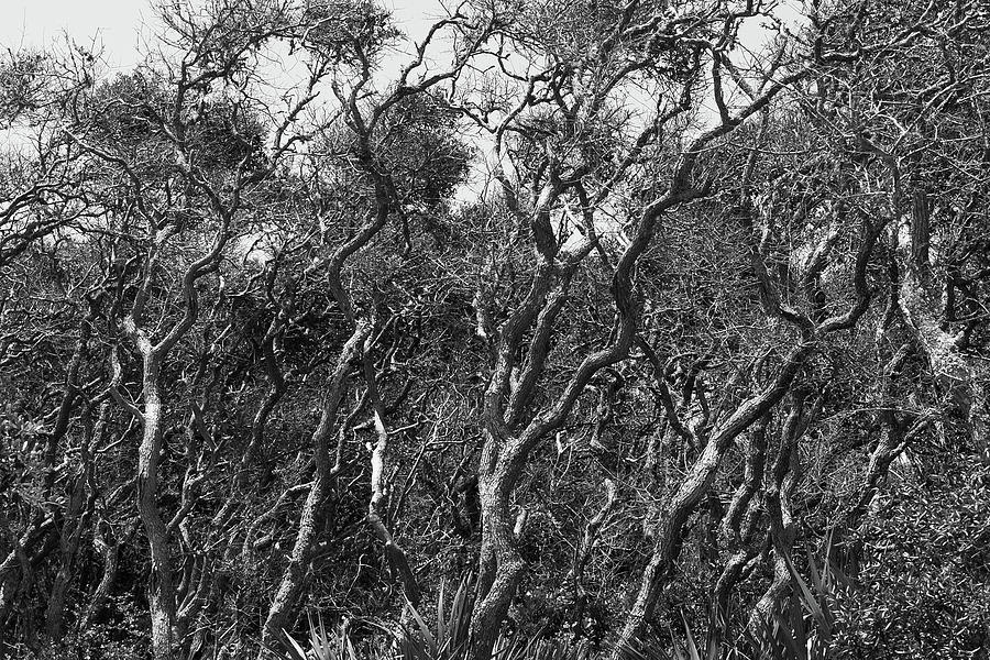 Coastal Oaks Photograph