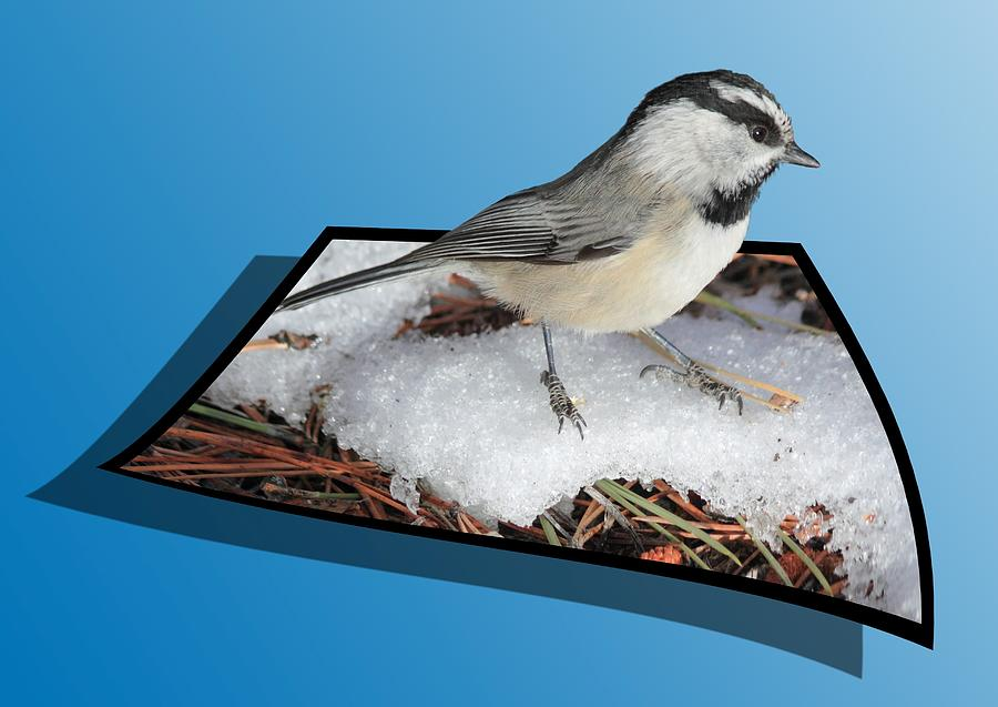 Chickadee Photograph - Cold Feet by Shane Bechler