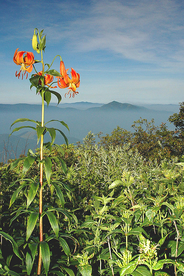 Cold Mountain Photograph - Cold Mtn. And Turks Cap Lily by Alan Lenk