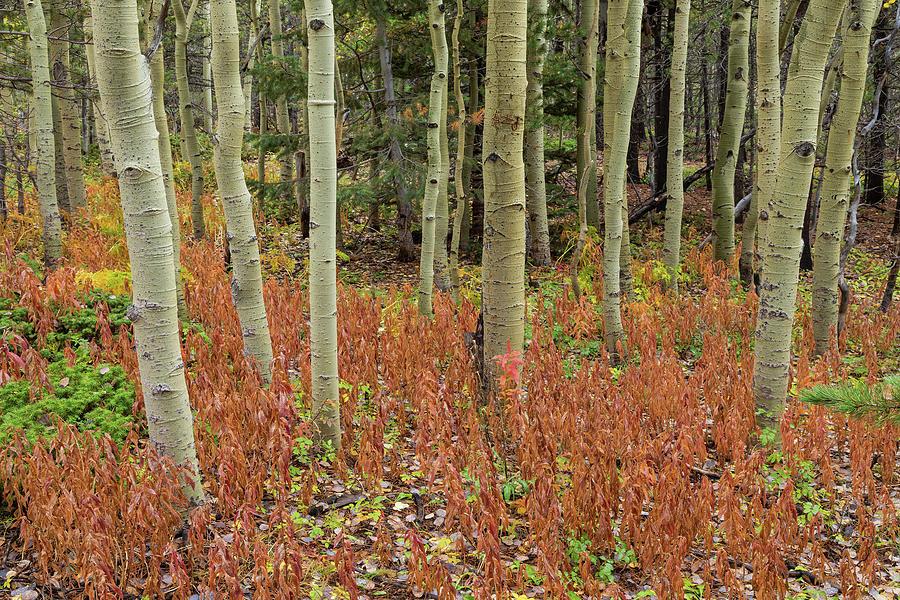 Colorful Aspen Forest Floor Photograph
