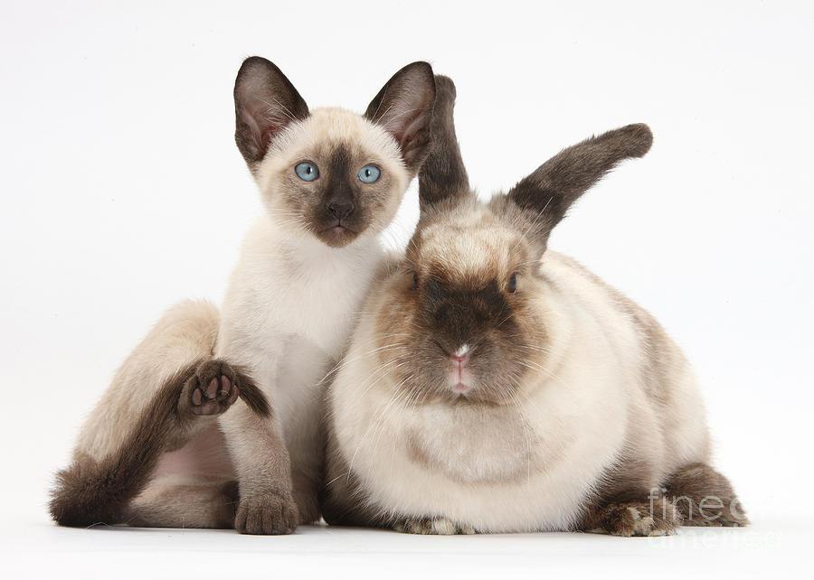 Colorpoint Rabbit And Siamese Kitten Photograph