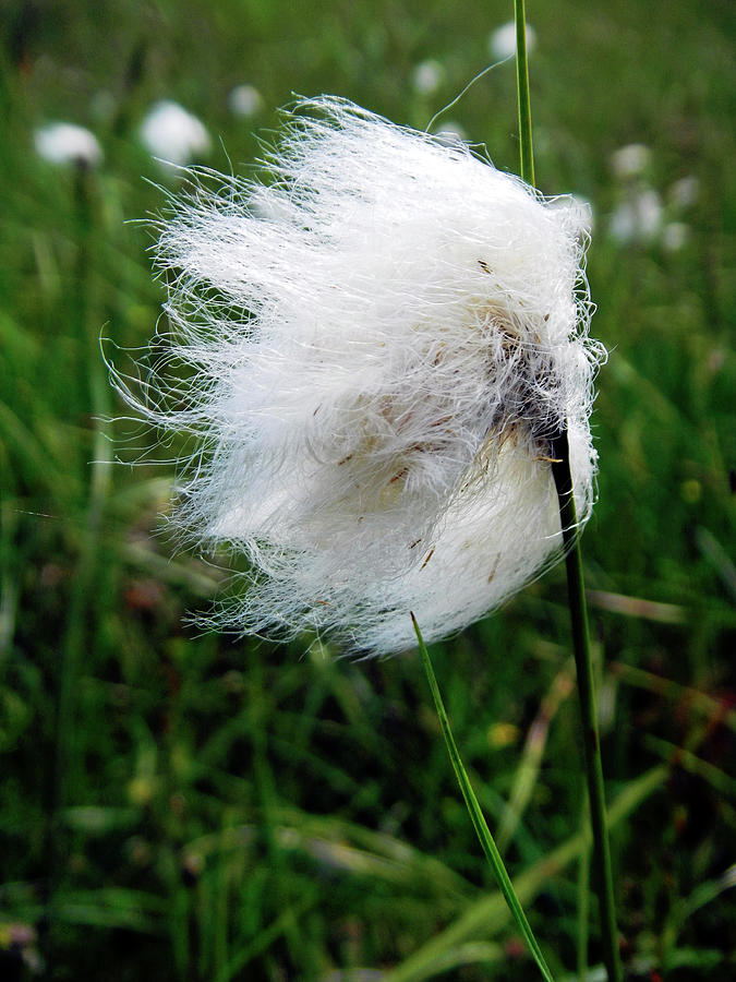 Common Cottongrass Seed-head Photograph