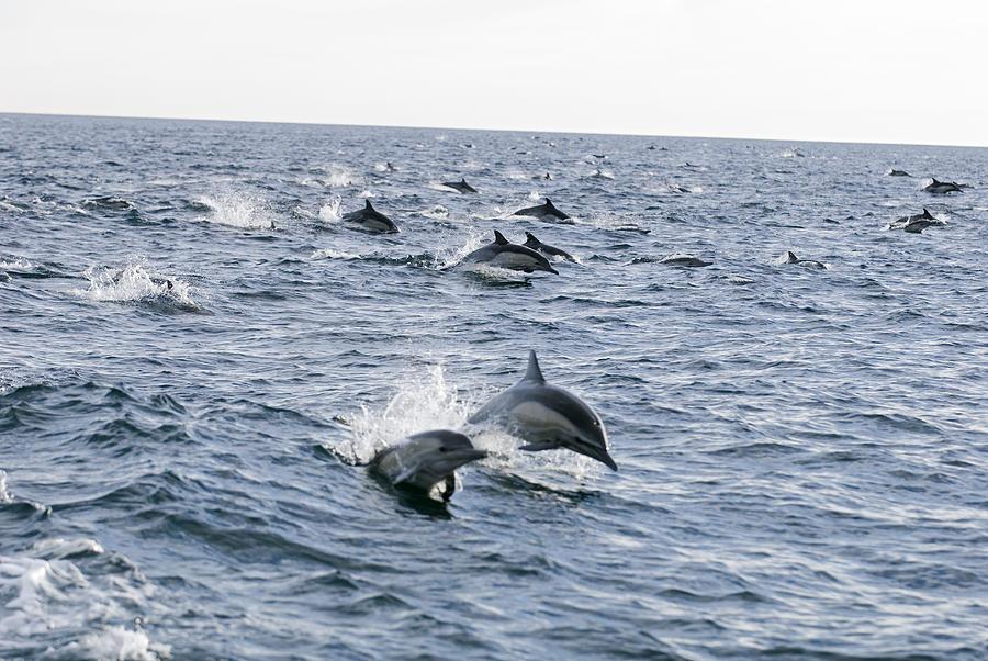 Common Dolphin Delphinus Delphis Pod Photograph