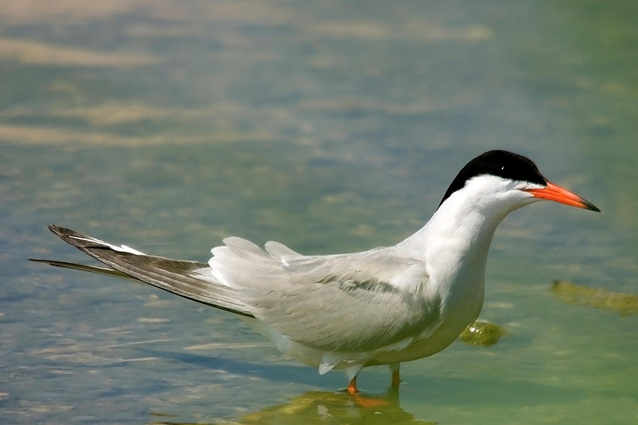 Common Tern At Lake Edge Burgas Photograph - Common Tern Portrait by Cliff  Norton