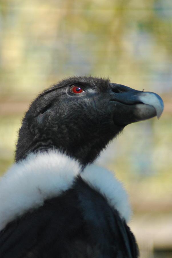 Condor Photograph