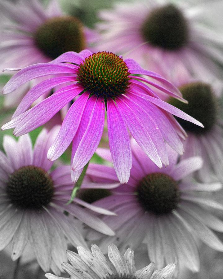 Flowers Photograph - Coneflowers by Marty Koch