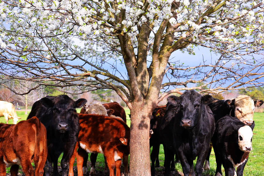 Angus Photograph - Cool Cows by Kelly Reber