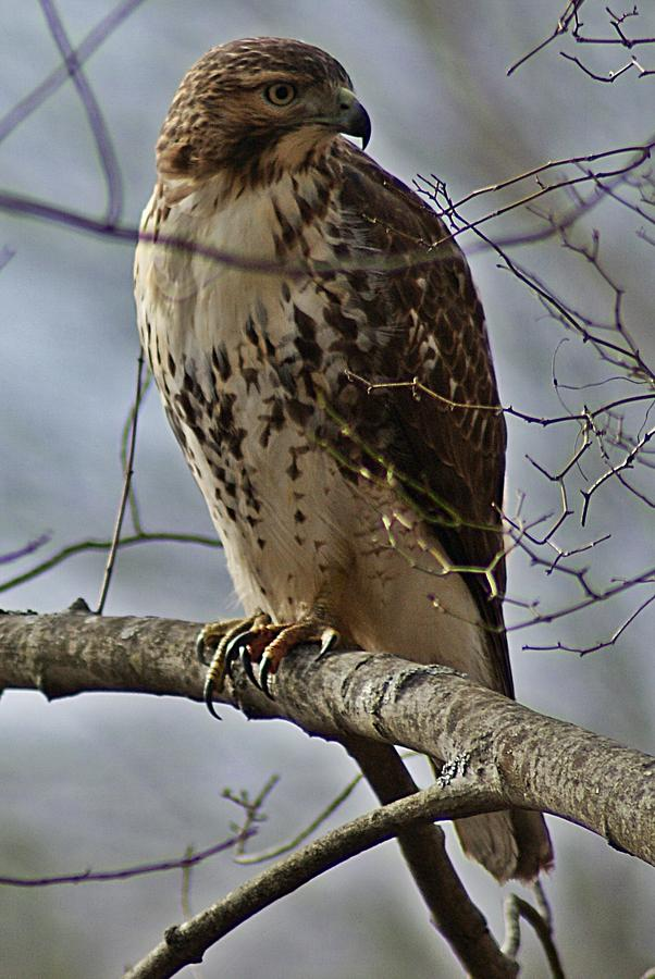Cooper's Photograph - Coopers Hawk 2 by Joe Faherty