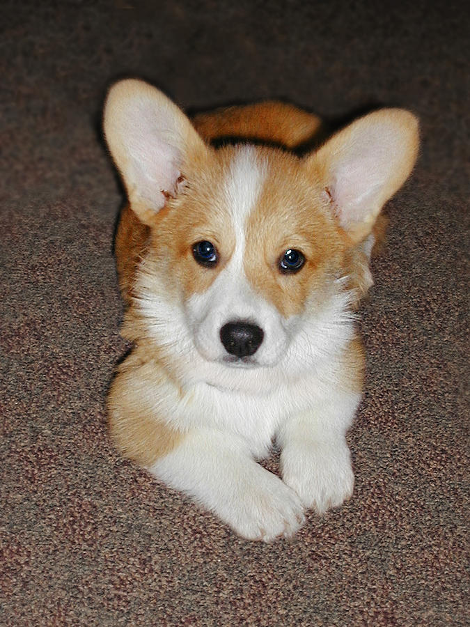 Corgi Photograph - Corgi Puppy Lying Down by Laurie With