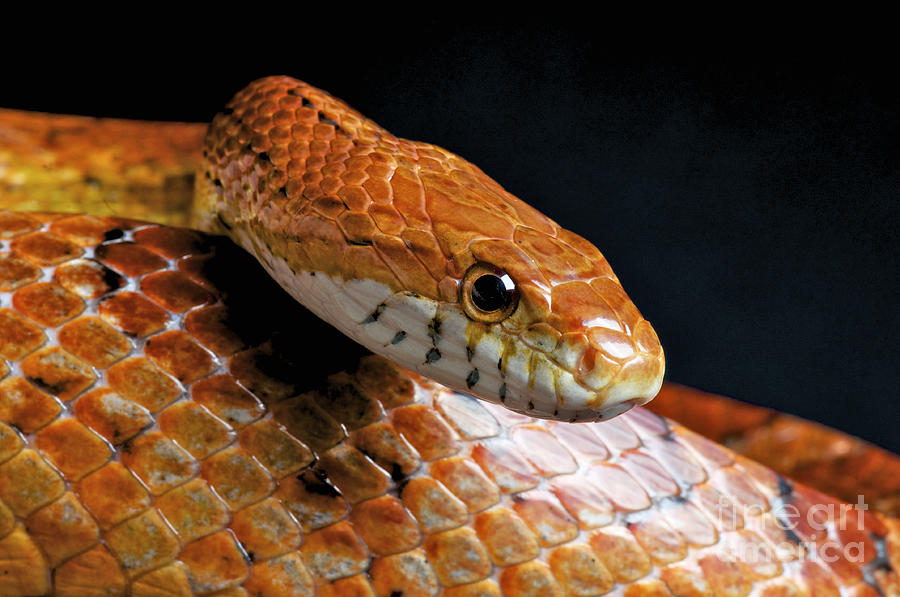 Corn Snake Photograph By Reptiles4all