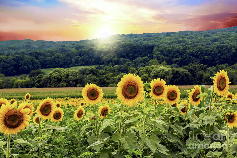 Landscaping Mulch Regina : Field photograph countryside sunflower landscape by regina geoghan