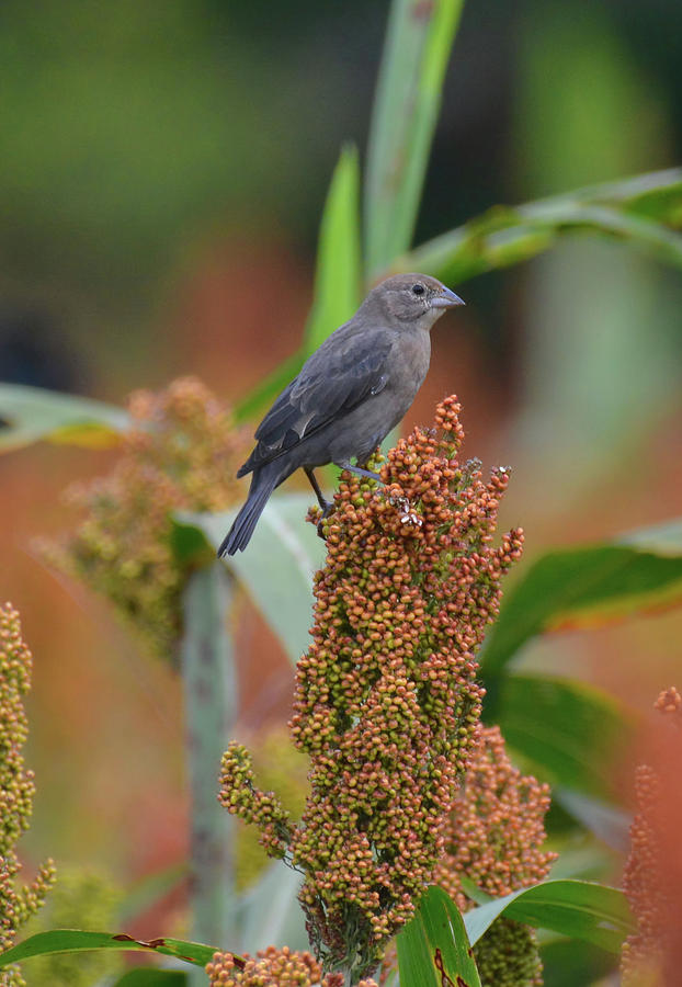 Cowbird Feasting On Milo And Shiloh Military Park In Tennessee Photograph