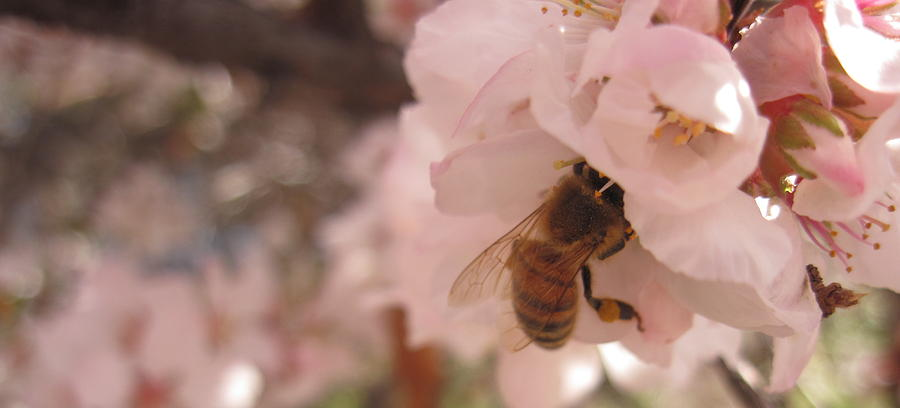 Blossom Photograph - Crab Apple Bee by Luke Cain