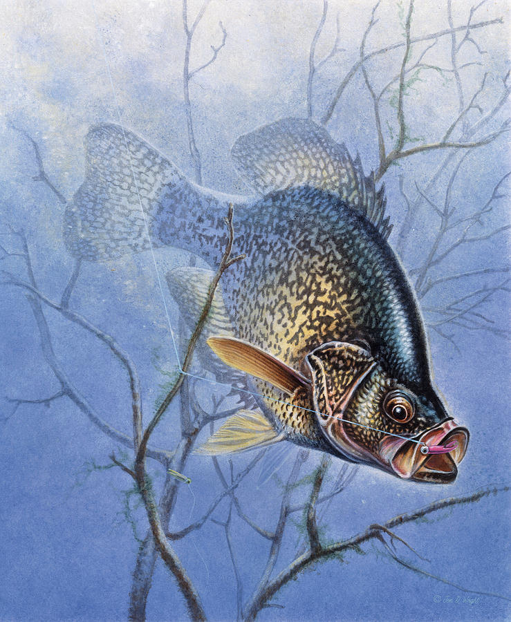 Jon Q Wright Painting - Crappie Cover Tangle by JQ Licensing