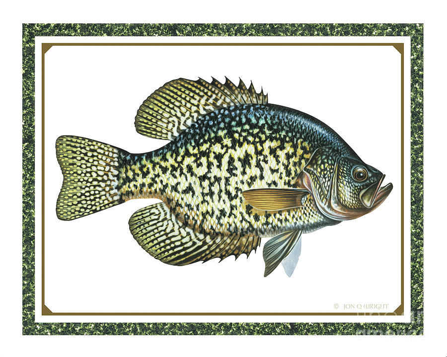 Jon Q Wright Painting - Crappie Print by JQ Licensing
