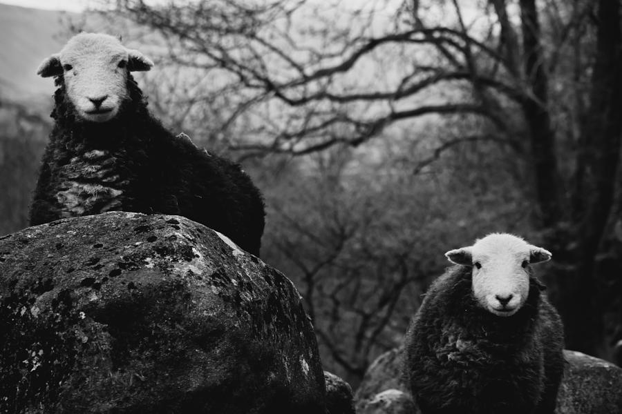 Sheep Photograph - Creep Sheep by Justin Albrecht