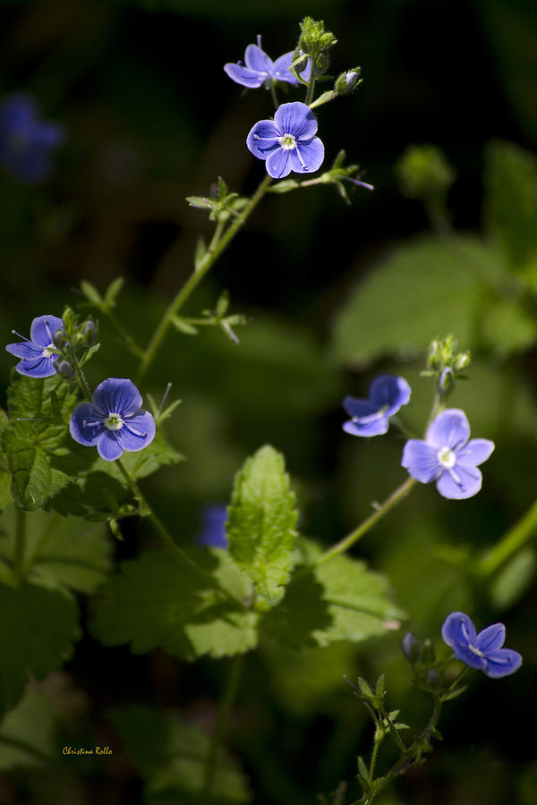 Spring Photograph - Creeping Speedwell by Christina Rollo
