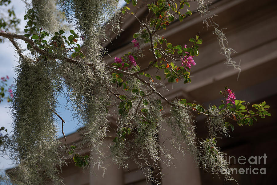 Crepe Myrtle And Spanish Moss Photograph