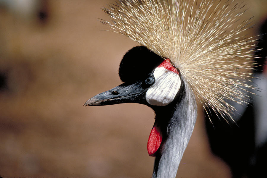 Crested Crane Photograph