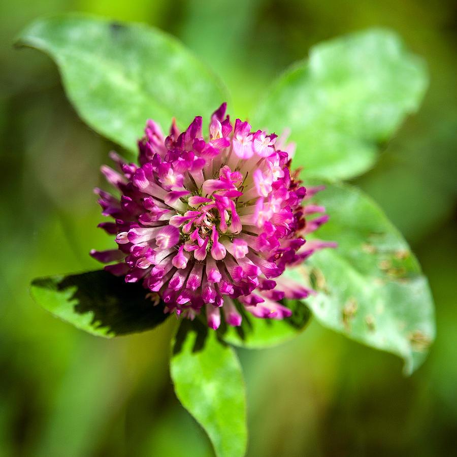 Flower Photograph - Crimson And Clover by John Haldane