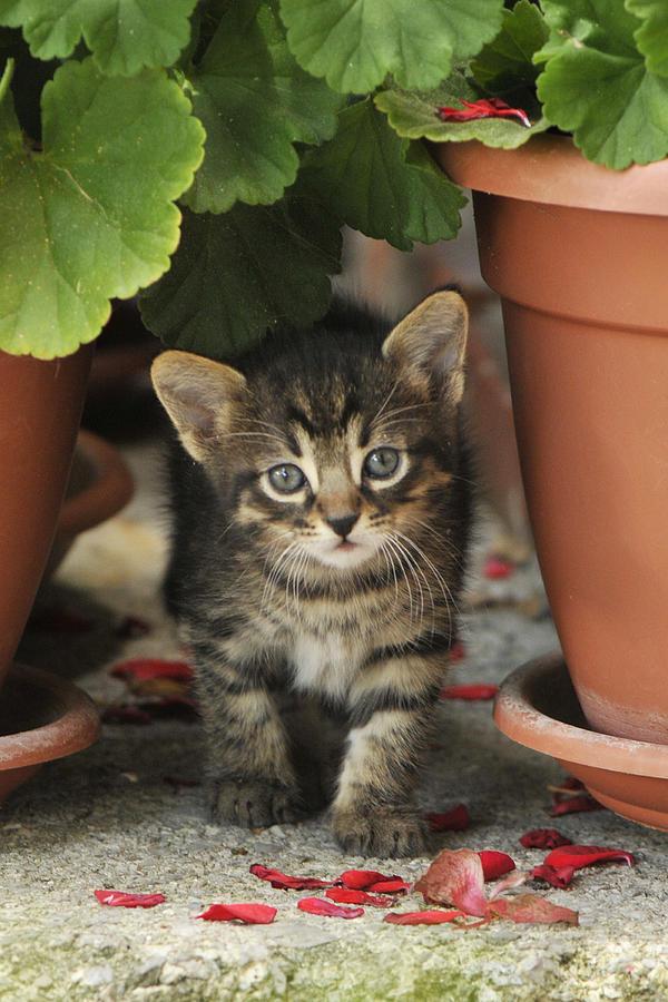 Cat Photograph - Croatian Kitten by Don Wolf