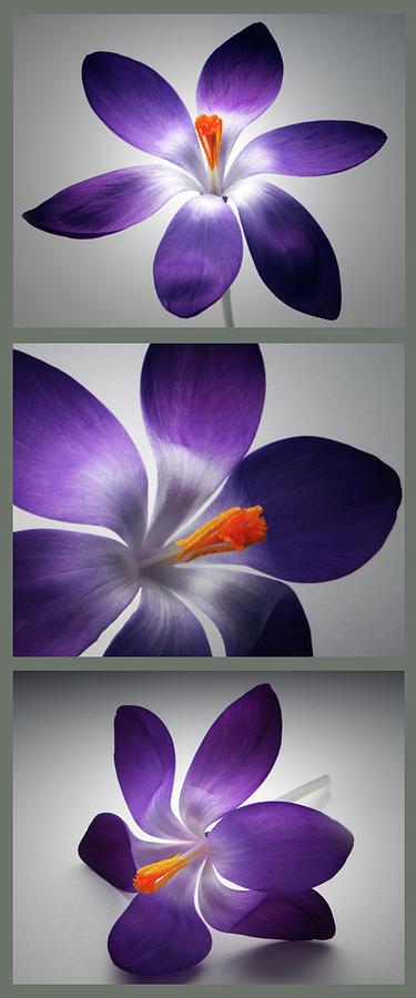 Crocus Flower Photograph - Crocus Triptych. by Terence Davis