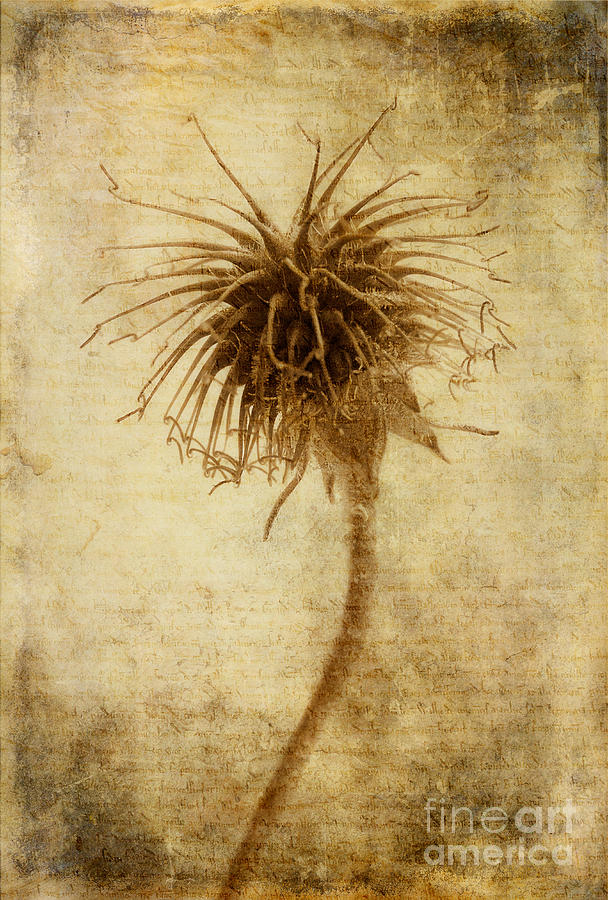 Seed Head Photograph - Crown Of Thorns by John Edwards