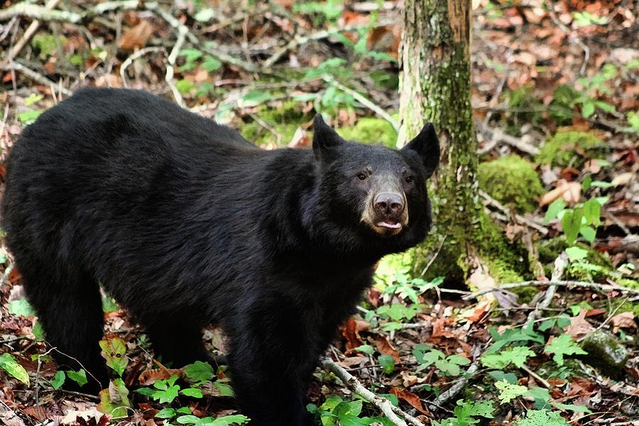 Curious Black Bear Photograph